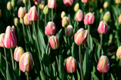 在早晨阳光下的许多桃红色郁金香在公园 大关闭 免版税图库摄影