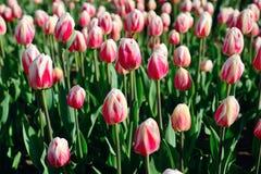 在早晨阳光下的许多桃红色郁金香在公园 被关闭的芽 库存图片