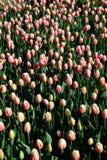 在早晨阳光下的许多桃红色郁金香在公园 免版税图库摄影
