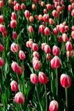 在早晨阳光下的许多桃红色郁金香在公园 库存照片