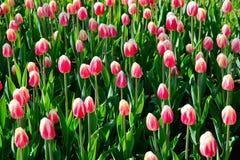 在早晨阳光下的许多桃红色郁金香在公园 Clised芽 免版税图库摄影