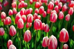 在早晨阳光下的许多桃红色郁金香 免版税图库摄影