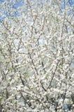 在早晨阳光的Blurred开花的树 软绵绵地集中 春天开花背景 图库摄影