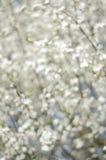 在早晨阳光的Blurred开花的树 软绵绵地集中 春天开花背景 库存图片