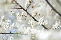 在早晨阳光的Blurred开花的树 选择聚焦 春天开花背景 库存照片