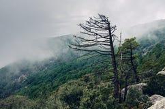 在早晨雾的凋枯的树 免版税库存图片