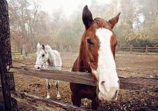 在早晨雾的马 免版税库存图片