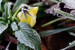 在早晨霜下的蝴蝶花花 免版税库存图片