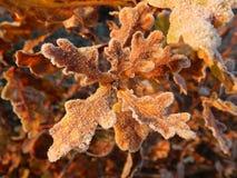 在早晨霜的叶子 免版税图库摄影