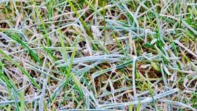 在早晨霜的绿草 库存图片