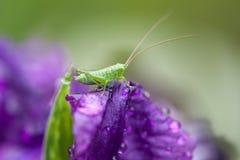 在早晨露水的紫色虹膜 在虹膜花的蚂蚱 图库摄影