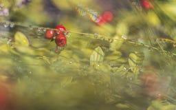 在早晨露水的Wolfberry 库存照片