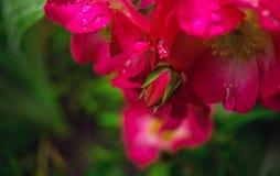 在早晨露水的桃红色玫瑰 免版税库存照片