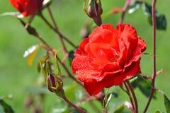 在早晨露水的红色玫瑰 免版税库存照片