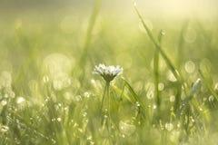 在早晨露水的雏菊花 免版税图库摄影