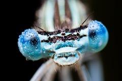 在早晨露水盖的蜻蜓 库存图片