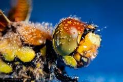 在早晨露水盖的蜻蜓 图库摄影