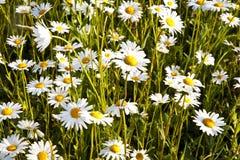 在早晨lig的美丽的雏菊 免版税库存图片