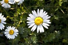 在早晨lig的美丽的雏菊 免版税库存照片