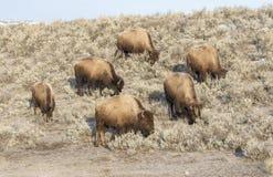 在早期的冬天威胁搜寻在鼠尾草小山的北美野牛  免版税图库摄影