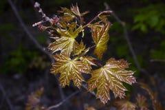 在早期的春天增长槭树的年轻光滑的叶子 免版税库存照片