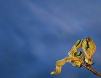 在早期的春天的栗子开花的芽 背景蓝色自然 晴朗的日 免版税图库摄影