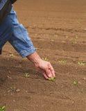 在早期的春天领域的农夫审查的庄稼幼木 库存图片