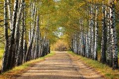 在早期的秋天的桦树胡同 黄色树的叶子转动 免版税库存照片