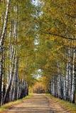 在早期的秋天的桦树胡同 黄色树的叶子转动 免版税库存图片