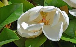 在早期的绽放的白色木兰花 库存图片
