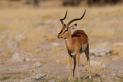 在旱季的黑面的飞羚 免版税库存图片