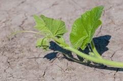在旱田之上的南瓜旁枝 免版税库存照片