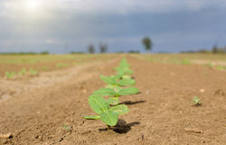 在旱田的新芽 免版税库存图片