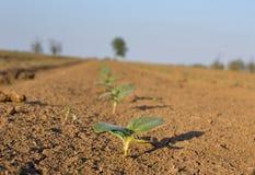 在旱田的新芽 库存照片