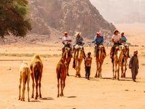 在旱谷兰姆酒的骆驼 库存照片