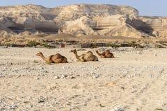在旱谷灰Shuwaymiyah (阿曼)的坐的独峰驼 免版税图库摄影