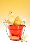 在时段的双复活节鸭子 库存图片
