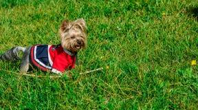 在时髦的成套装备和理发的一条逗人喜爱的狗 库存照片