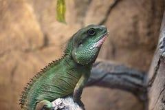在昆虫哺养的一只热带和罕见的蜥蜴 爬行动物动物 免版税图库摄影