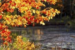 在昆西沼泽,新罕布什尔的明亮的秋叶 图库摄影