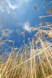 在明亮的光的生态学金黄庄稼 免版税图库摄影