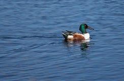 在明亮的全身羽毛的琵嘴鸭 库存照片