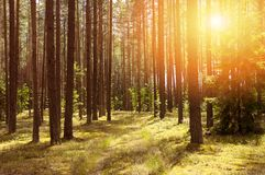 在明亮的具球果森林里 库存图片