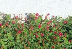 在明亮的墙壁前面的桃红色野花 免版税库存图片
