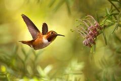 在明亮的夏天背景的红褐色蜂鸟 免版税库存图片