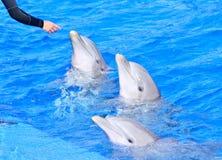 在明亮的大海的海豚 库存图片