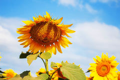 在明亮的天空的向日葵 库存照片