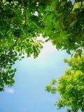 在明亮的天空蔚蓝背景和阳光的绿色叶子背景的 库存图片