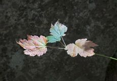在明亮的太阳的三片年轻人槭树叶子 库存图片