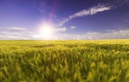 在明亮的太阳的光芒的麦田 免版税图库摄影